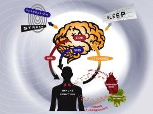 fra Irwin, M. R. (2008) Brain Behavior and Immunity