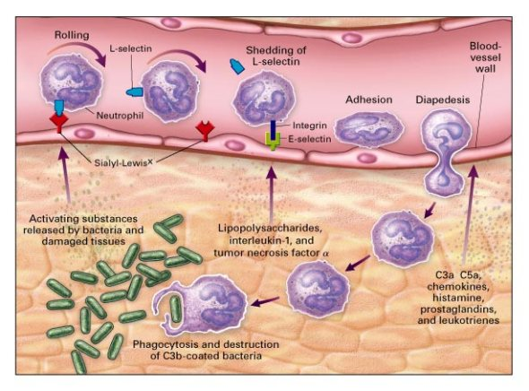 neutrophil inflammation