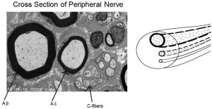 Peripheral nerves